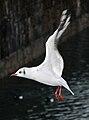 Chroicocephalus ridibundus in flight (adult in winter plumage) - Thun.jpg