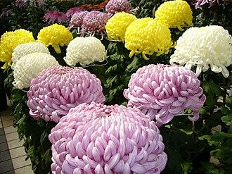 Chrysanthemum morifolium - Image: Chrysanthemum,kiku,k atori city,japan