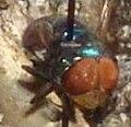 Chrysomya megacephala - Collection.jpg