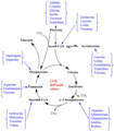 Ciclo dell'acido citrico.png