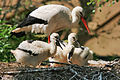 Ciconia ciconia -Artis Zoo, Netherlands -parent and chicks-8b.jpg