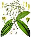 Cinnamomum aromaticum - Köhler–s Medizinal-Pflanzen-039 cropped.jpg