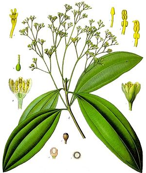 Cinnamomum cassia - From Koehler's Medicinal-Plants (1887)