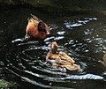 Cinnamon teal - male and female.jpg