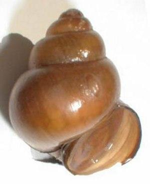 Chinese mystery snail - Shell of Bellamya chinensis