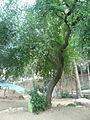Cirerer de santa Llúcia del parc de l'Oreneta P1510572.jpg