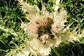 Cirsium spinosissimum ENBLA03.jpg