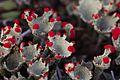 Cladonia coccifera (8105339019).jpg