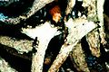 Cladonia crispata-1.jpg