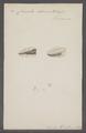 Clausilia bidens - - Print - Iconographia Zoologica - Special Collections University of Amsterdam - UBAINV0274 088 10 0003.tif