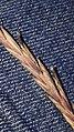 Claviceps purpurea 87090345.jpg