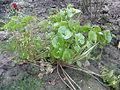 Claytonia perfoliata R.H (2).JPG