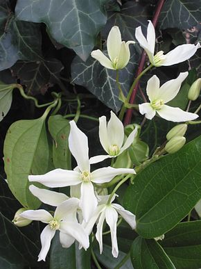 Description de l'image  Clematis armandii.jpg.