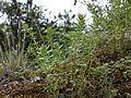 Clinopodium acinos sl2.jpg