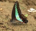 Close wing position of Graphium sarpedon- Common Bluebottle. WLB DSC 0090.jpg
