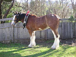 A young Clydesdale in Australia. The need for body cooling in warmer climates leads over time to a slightly leaner-built animal.