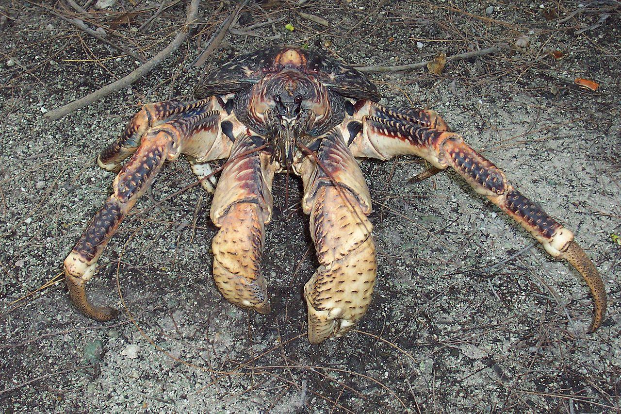 filecoconut crab birgus latro 3125601642jpg