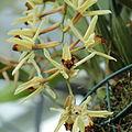 Coelogyne brymeriana (C. asperata × C. dayana)-IMG 5583.jpg