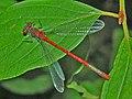 Coenagrionidae - Pyrrhosoma nymphula.JPG