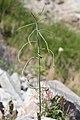 Coincya monensis silique (2).jpg