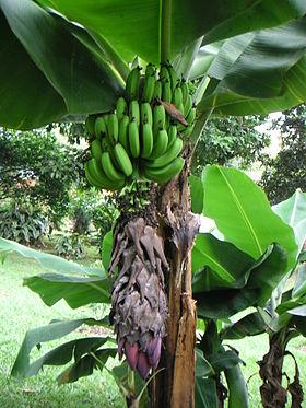 Banana production in Honduras - Wikipedia