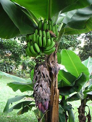 Banana production in Honduras - Bananas are one of Honduras's main exports