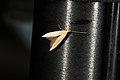 Coleophora sp. (36527510336).jpg
