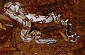 Columbian Red Tail Boa (Boa constrictor constrictor) (10642424253).jpg