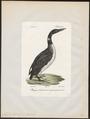 Colymbus glacialis - 1842-1848 - Print - Iconographia Zoologica - Special Collections University of Amsterdam - UBA01 IZ17800007.tif
