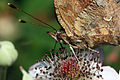 Comma butterfly (Polygonia c-album) close up.JPG
