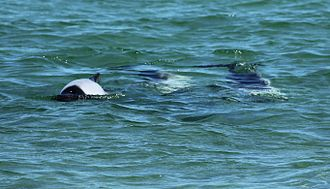 Saunders Island, Falkland Islands - Commerson's dolphins swimming near the shore