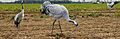 Common Crane from The Crossley ID Guide Eastern Birds.jpg