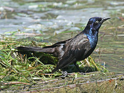 Common Grackle male RWD
