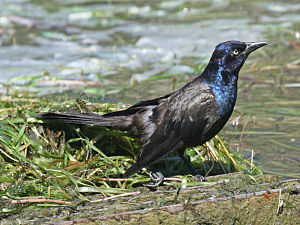 Common grackle - Iridescent male common grackle