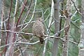Common Ground Dove, Tawas Point, Michigan 04.jpg