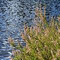 Common Heather (Calluna vulgaris) - Oslo, Norway 2020-08-30.jpg