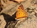 Common Leopard Phalanta phalantha by Dr. Raju Kasambe DSCN0554 (5).jpg