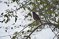 Common Myna Acridotheres tristis, somewhere in India.jpg
