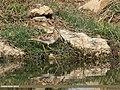 Common Snipe (Gallinago gallinago) (33156539105).jpg