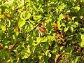 Common Stonechat - Saxicola torquatus - P1020761.jpg