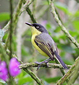 Common Tody-Flycatcher.jpg