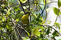 Common Yellowthroat (7235504562).jpg