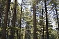 Conifers - Green Valley 2014-05-08 1629.JPG