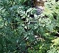 Conium maculatum leaf (22).jpg