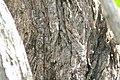 Conocarpus erectus 7zz.jpg