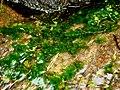 Conringia orientalis (L.) Andrz. (AM AK305925-1).jpg