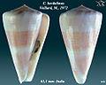 Conus berdulinus 2.jpg