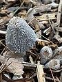 Coprinopsis lagopus 97418782.jpg