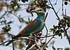 Coracias garrulus -Kruger National Park, South Africa-8.jpg