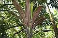 Cordyline fruticosa 23zz.jpg